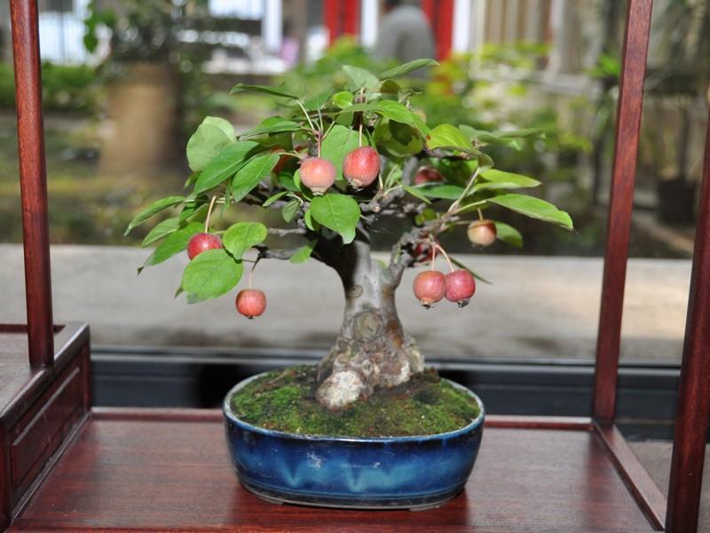 Vendita bonsai il gelso for Dove comprare bonsai